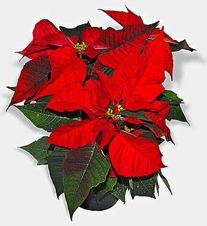 "Joel Roberts Poinsett - Mexican ""flor de la noche buena,"" called in the U.S. the poinsettia"