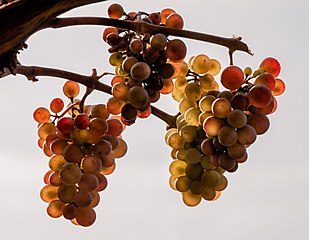 Weintrauben Rot-20061010-RM-142355.jpg