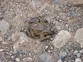 Well camouflaged toad - geograph.org.uk - 1194662.jpg