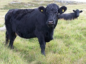 Welsh Black Cattle Aberdare Blog.jpg