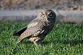 Western Screech Owl.jpg