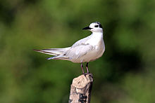 Whiskered tern (Chlidonias hybridus) winter plumage.jpg
