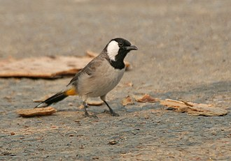 White-eared bulbul - Image: White eared Bulbul (Pycnonotus leucotis) looking for scraps of Chapatis at Hodal Iws IMG 1182