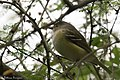 White-eyed Vireo National Butterfly Center Mission TX 2018-03-12 09-28-44 (39174920470).jpg