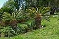 White-haired Cycad (Encephalartos friderici-guilielmi) (32859103181).jpg