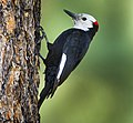 White-headed Woodpecker - Sisters - Oregon (vertical).jpg