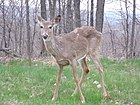 White-tailed deer, Heath Ohio.JPG