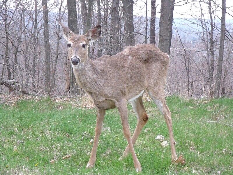 White-tailed deer, Heath Ohio.JPG