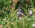 White-throated Sparrow (works) (32257271990).jpg