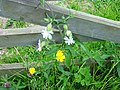 White Campion and buttercups - geograph.org.uk - 204691.jpg