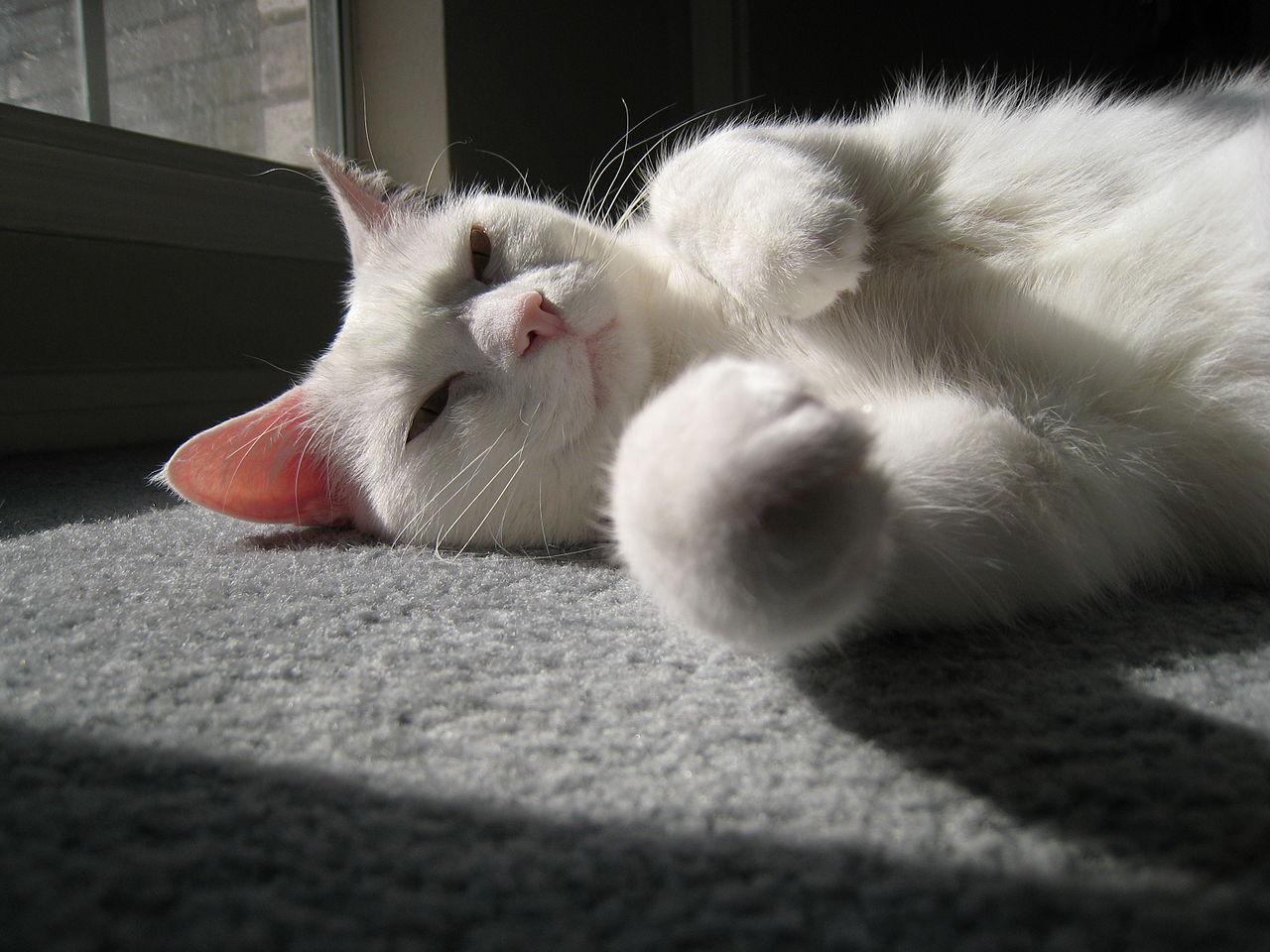 file white cat tx jpg wikimedia commons