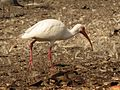 White Ibis - Flickr - treegrow.jpg