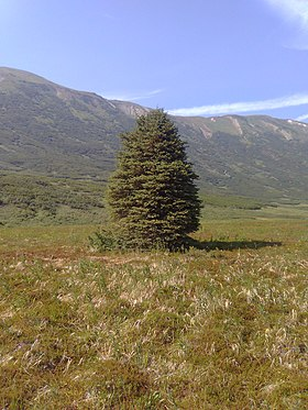 White Spruce from Turnagain Pass, Alaska.jpg