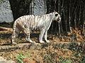 White Tiger 7.JPG