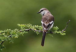 White bellied minivet female...jpg