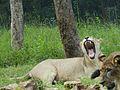 White lion in the park.jpg
