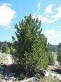 Whitebark pine, Okanogan NF.JPG