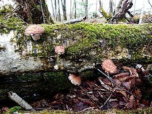 Shiitake - Image: Wild Shiitake Mushroom Japan
