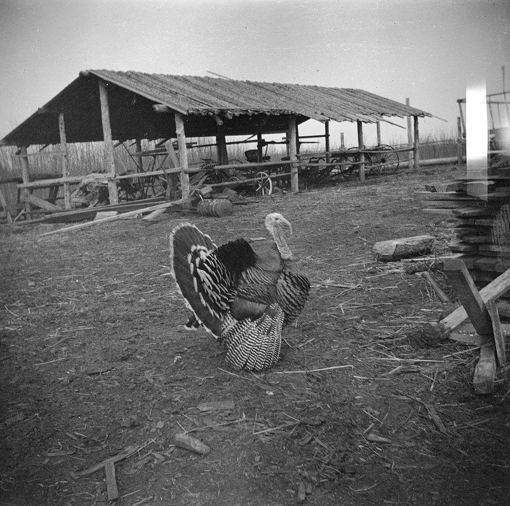 Wild turkey visits the Brebners (18742858781)