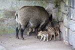 Wildschwein - wild boar (Sus scrofa scrofa) (25318868049).jpg