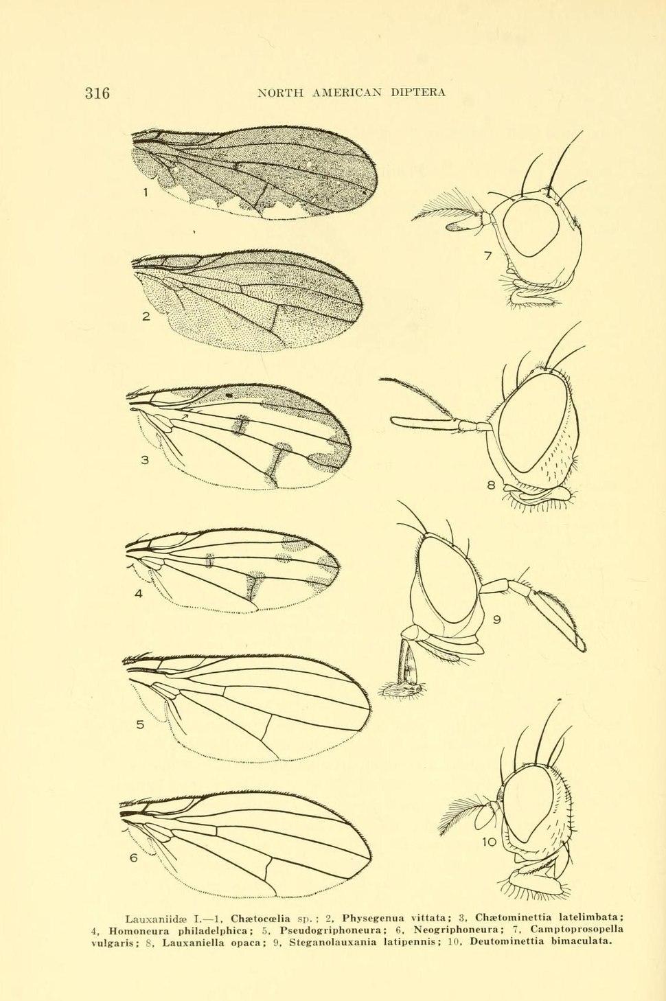 WillistonLauxaniidae315