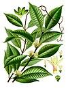 Willughbeia coriacea - Köhler–s Medizinal-Pflanzen-282.jpg
