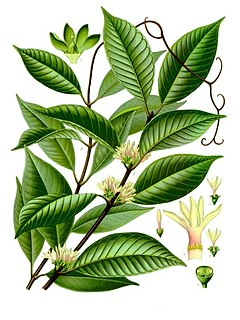 <i>Willughbeia</i> genus of plants