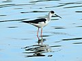 WilpattuNationalPark - February 2018 - Black-winged stilt (1).jpg
