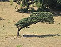 Wind-Beaten Cork Oak - panoramio.jpg