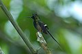 Wire-crested Thorntail (Discosura popelairii) 2015-06-14 (7) (40329166481).jpg