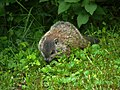 Woodchuck offspring in our yard (5825854277).jpg