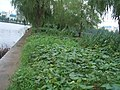 Wuhan - East lake causeway bean garden 4207.jpg