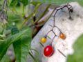 XN Solanum dulcamara 02.jpg