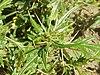Xanthium spinosum0