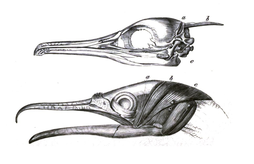 Xiphoid phalacrocorax
