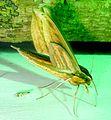 Xylophanes sp. Sphingidae. U-S. - Flickr - gailhampshire.jpg