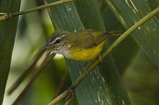 Yellow-bellied warbler species of bird