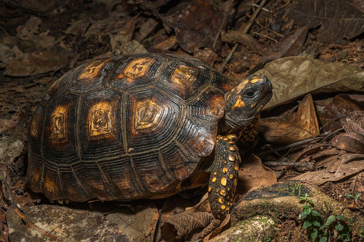 Yellow-footed tortoise - Wikipedia