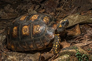Yellow-footed tortoise Species of reptile