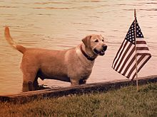 A yellow lab standing in the water near an American flag at a lakeside Fourth of July celebration