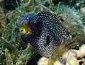 Yellowmouth Moray Eel.jpg