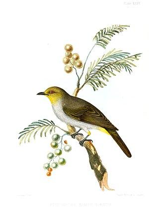 Yellow-throated bulbul - 1847 illustration
