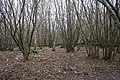 Young Coppice, Frith Wood - geograph.org.uk - 344431.jpg
