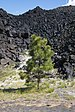 Young pine tree near Fantastic Lava Beds.jpg
