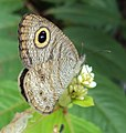 Ypthima baldus - Common Five-ring 21.JPG