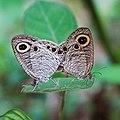 Ypthima huebneri, Common Four-ring.jpg