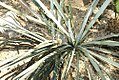 Yucca baccata 9zz.jpg