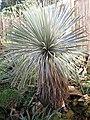 Yucca rostrata in cultur F. Hochstätter Mannheim 15 Jahre altes Exemplar B.jpg