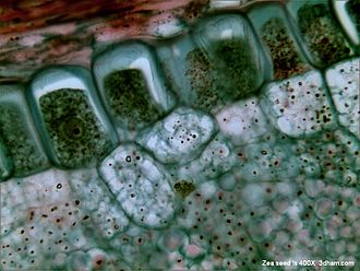 Zea (plant) - Microscopic view of Zea seed