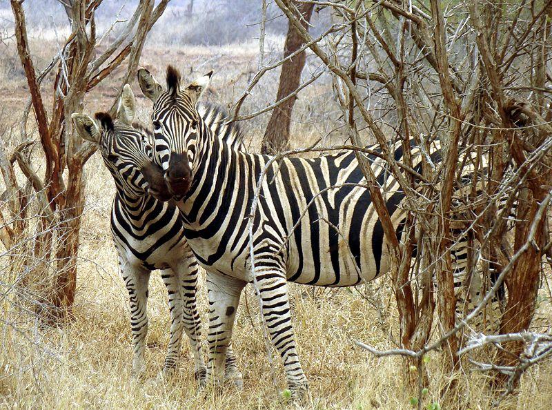 File:Zebras in love-JD.JPG